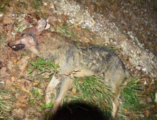 Giovane lupo ritrovato morto tra Branca e Torre. Vicine ad una svolta le indagini dei Carabinieri Forestale